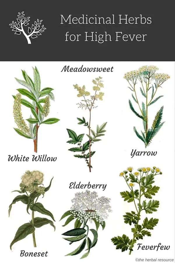 Herbs for High Fever