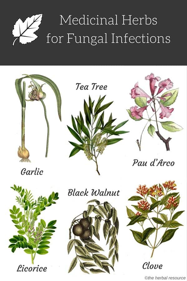 herbs for fungal infections