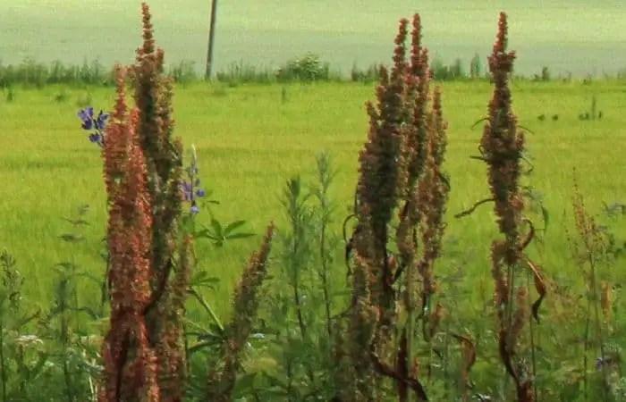 Northern Dock Medicinal Herb