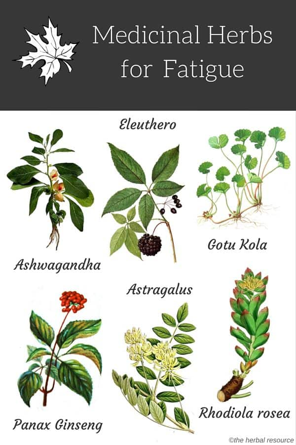 herbs for fatigue