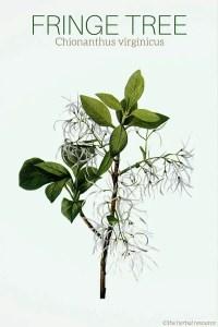 Fringe Tree Chionanthus virginicus