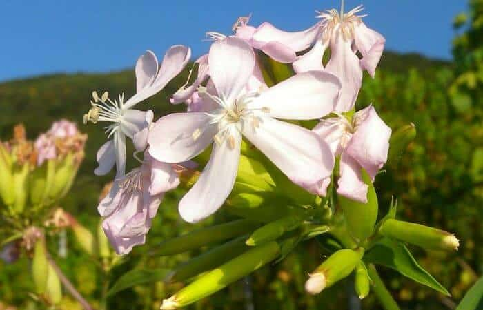 Soapwort Benefits, Uses and Side Effects