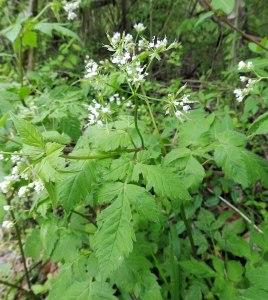 Osmorhiza longistylis