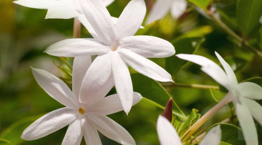 images for flowers jasmine