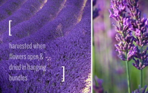 Lavender Flower and How to Make Lavender Water choosing your lavender  When choosing which variety to purchase please  consider  all are edible  all have the same aromatic value