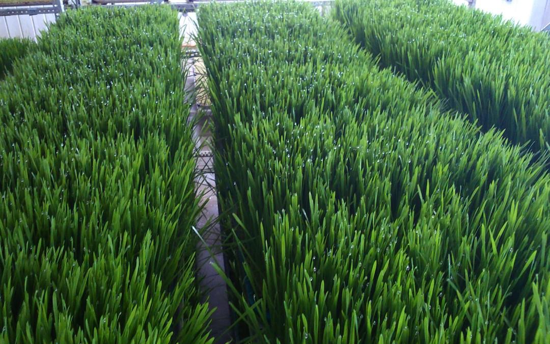 La fabrication du jus d'herbe de blé
