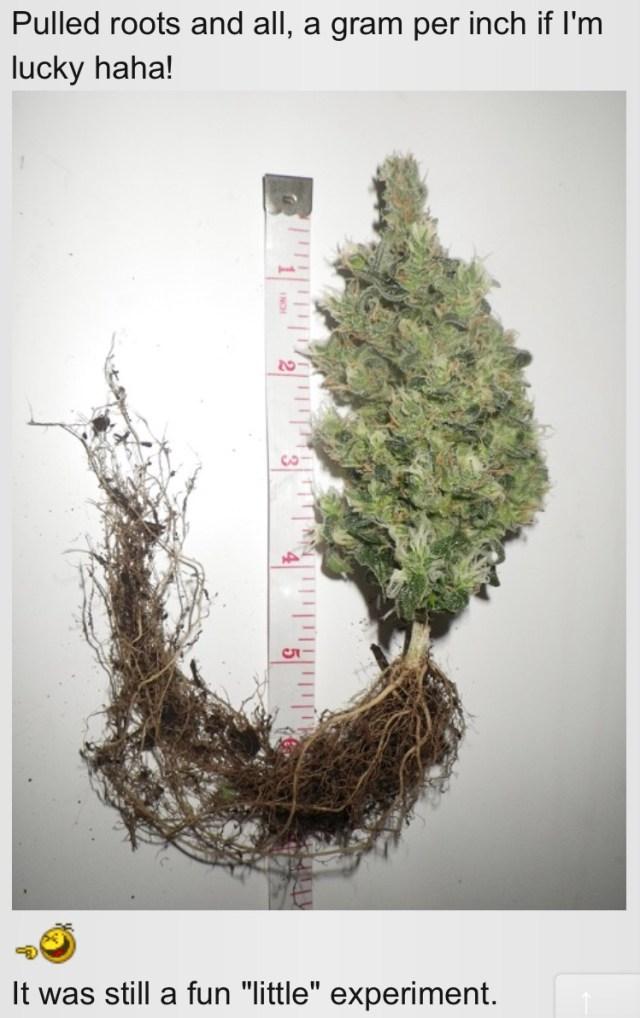 Can you clone autoflowers - sure, if you like bonsai cannabis plants.