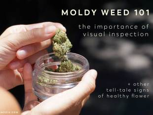 moldy weed visual inspection