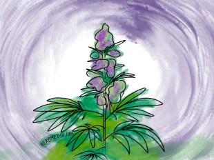 purple marijuana