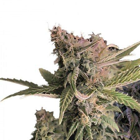 Moby-Dick-Autoflowering-Feminized-Marijuana-Seeds.
