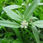 Bhringraj (eclipta alba)-Bhringraj-leaf-extract.