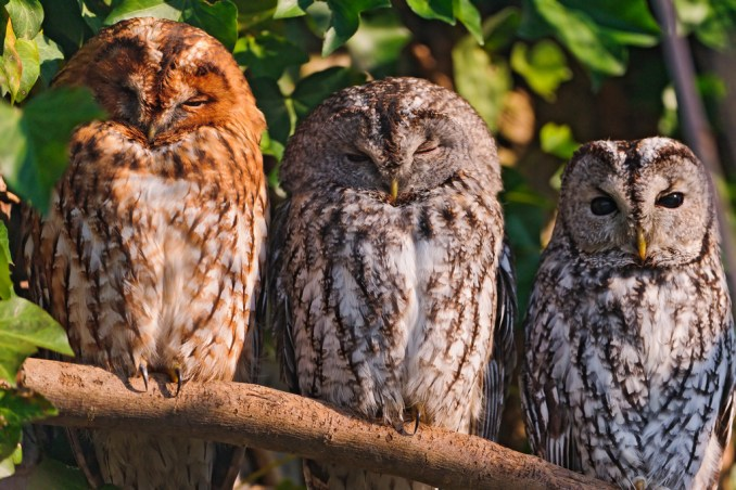 """Three owls in a row"""" by Tambako the Jaguar, on Flickr"""