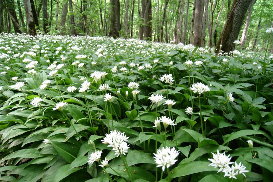 Wild garlic in woodland