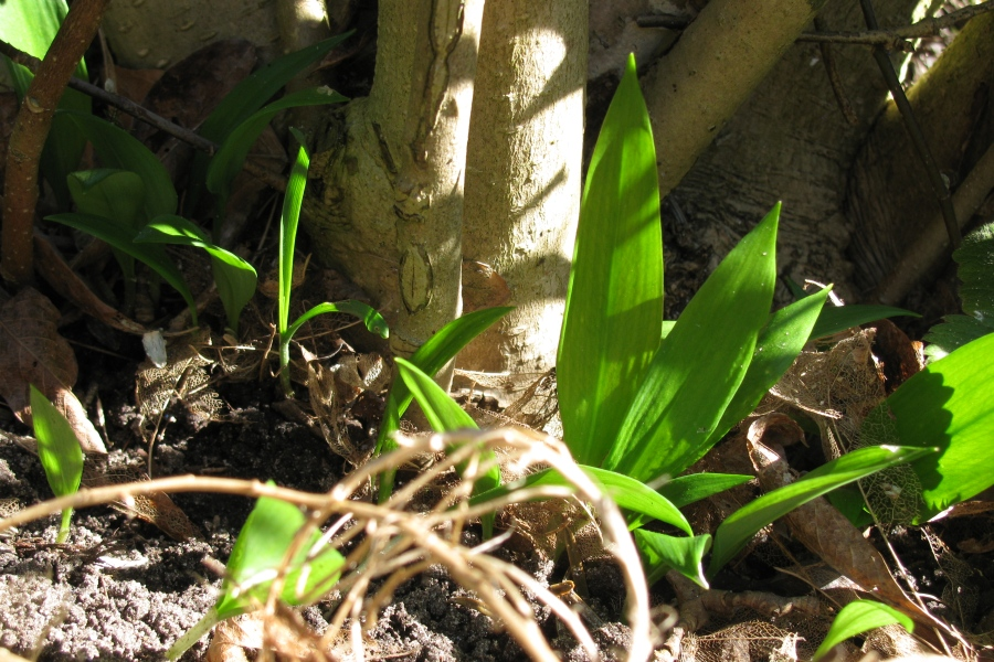 Wild garlic under magnolia tree