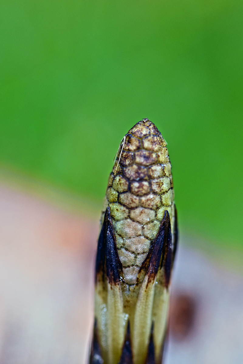 Close-up picture of Common Horsetail Fertile Shoot in late April.