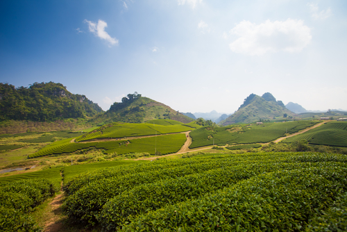 Tea farm in Asia. Photo: News of Asia/Shutterstock.com