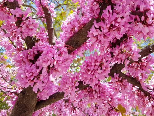 redbud blossoms on tree branches
