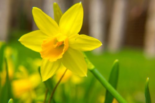 A Beginner S Guide To Types Of Daffodils Here By Design
