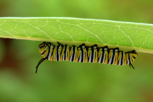 monarch caterpillar on milkweed leaf