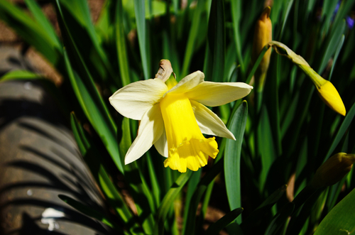When To Cut Back Daffodil Foliage Here By Design