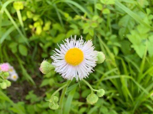 daisy fleabane