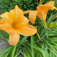 Daylily Care: How To Extend The Blooming Season