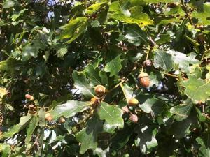 Oak trees and acorns are poisonous to horses