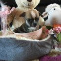 *READY NOW* Chihuahua puppies