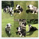 Gorgeous collie pups