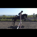 13.2Welsh section C bay gelding 15 years