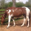 15.3hh 8 yr old mare - Project