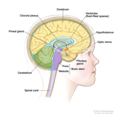 Diagram of brain anatomy