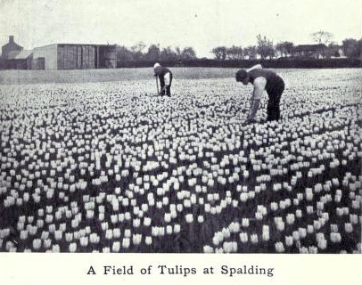 Tulip fields in South Holland