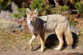 Coyote Yellowstone