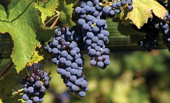 Malbec and Royal Grapes – HERLIFE Magazine