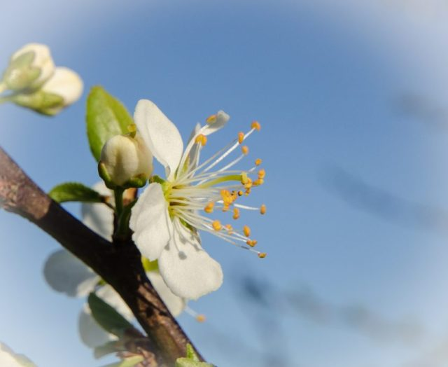 Blossom of a plum tree