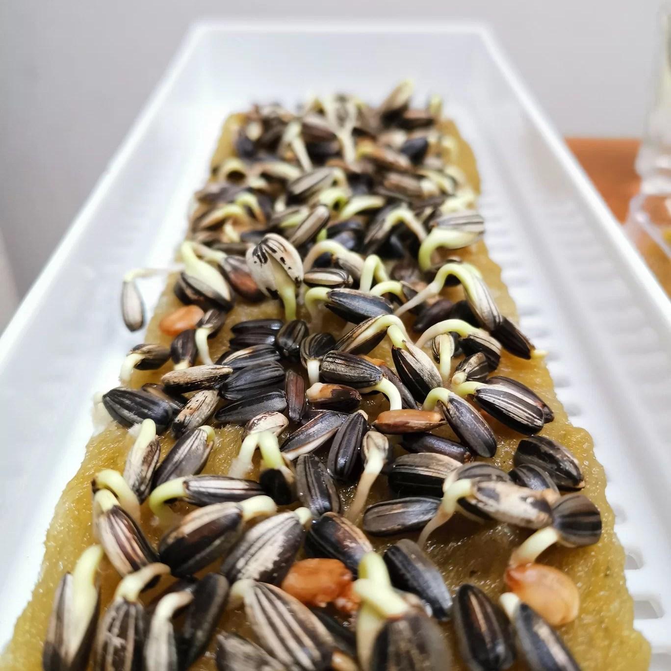 Microgreen Sunflower Seed Bunga Matahari - Benih Biji
