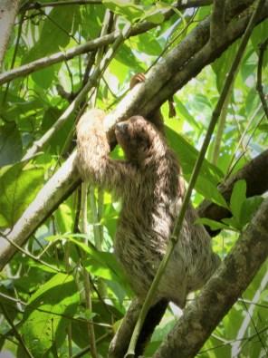 Baby sloth at Cahuita by hesaidorshesaid