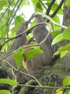 Sloth at Punta Uva Arrecife by hesaidorshesaid