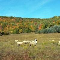 sheeppasture