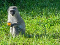 Naughty little Vervet monkey helps himself to our breakfast fruit