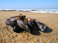 Group of mussels on the beach
