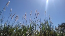 Sugar cane plumes-2