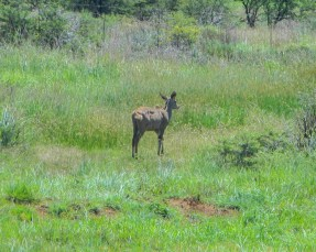 Antelope grazing in the Suikerbos Nature Reserve in summertime
