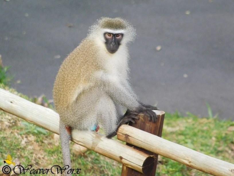 Vervet money KwaZulu-Natal