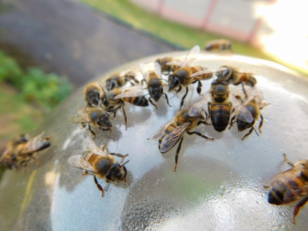 Thirsty bees