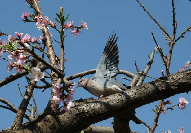 Dove enjoying the sun among the first blossoms of spring