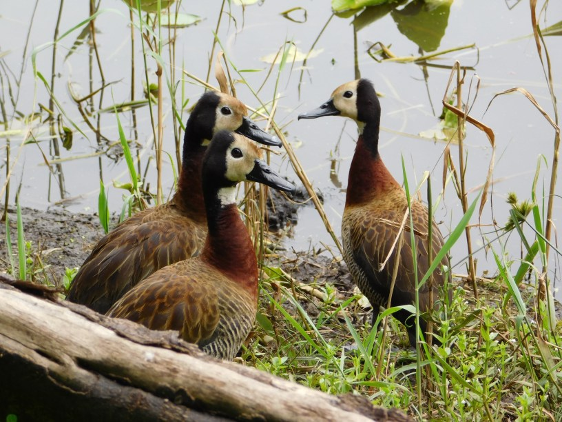 White-faced ducks