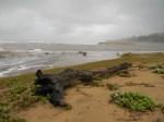 Driftwood on Elysium Beach, KwaZulu-Natal, RSA