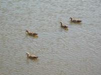 Vier van die kroos kolganse wieg rond op die water